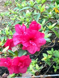 The red and white azaleas are in hot competition with each other to see who can be prettier