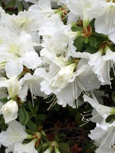 See? The white azalea will not be out done by the red!